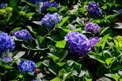 Blåa och purpurfärgade vanliga hortensior i trädgård royaltyfri fotografi