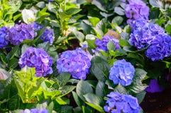 Blåa och purpurfärgade vanliga hortensior i trädgård arkivfoto