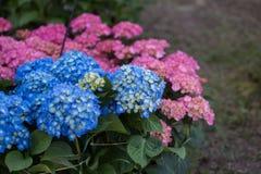 Blåa och rosa Hortensia Flowers, vanlig hortensia i en trädgård Arkivfoto