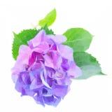 Blåa och violetta hortensiablommor stock illustrationer