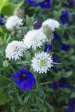 Blåa och vita blommor Arkivfoto