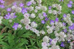 Blåa och vita blommor för läckerbit, England Fotografering för Bildbyråer