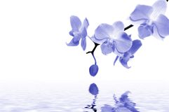 blåa orchids royaltyfria bilder