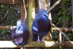 Blåa påfåglar med röda ögon i Loro parkerar (Loro Parque), Tenerife Fotografering för Bildbyråer
