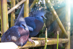 Blåa påfåglar med röda ögon i Loro parkerar (Loro Parque), Tenerife Royaltyfri Fotografi