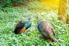 Blåa påfåglar på zoo Royaltyfri Fotografi
