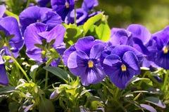 blåa pansies Royaltyfri Bild