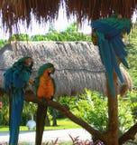 blåa papegojor Royaltyfri Fotografi