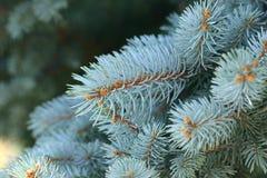 blåa piceapungens spruce royaltyfri bild