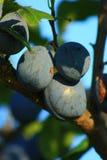 blåa plommoner Arkivfoton