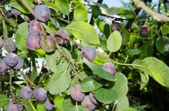 Blåa plommoner på träd Arkivbilder
