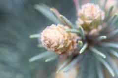 Blåa prydliga Pinecones Royaltyfri Bild