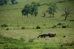 Blåa Ridge Appalachia - svarta angus kor Royaltyfri Bild