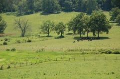 Blåa Ridge Appalachia - svarta angus kor Arkivfoto