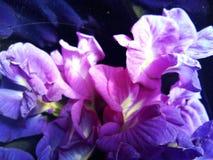 Blåa söta blommor för fjärilsärtor arkivbilder