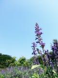 Blåa Salvai: Lilablomma & blå himmel Arkivbild