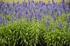 Blåa Salvia Field Royaltyfri Fotografi