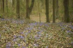 Blåa skogblommor (blåsippa) och sörjer träd (pinusen) arkivfoto