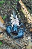 Blåa skorpioner Royaltyfria Bilder