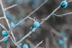 Blåa slånbär, taggiga taggar i nedgången på filialerna av en buske royaltyfri bild