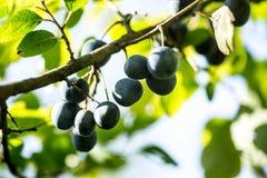 Blåa slånfrukter på filialer i trädgård arkivbild