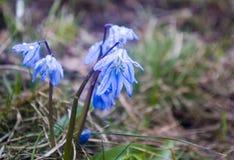 blåa snowdrops Arkivfoto
