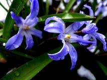 blåa snowdrops Fotografering för Bildbyråer