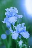 Blåa tappningirisblommor Royaltyfri Fotografi