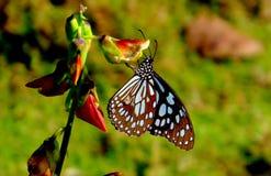 Blåa Tiger Butterfly fotografering för bildbyråer