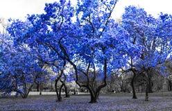 Blåa träd i det svartvita landskapet New York City Royaltyfri Bild