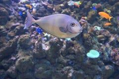 Blåa unicornfish Royaltyfri Foto