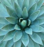 blåa växtryggar för agave Arkivfoton