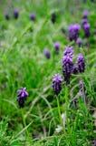 Blåa vårblommor Royaltyfri Fotografi