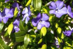 Blåa vårblommor av vintergrönan med gröna sidor, bakgrund, Royaltyfria Foton