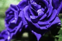Blåa våta rosor i trädgården arkivfoton