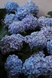 blåa vanlig hortensia royaltyfri foto