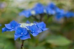 Blåa vanlig hortensiablommor Arkivbild