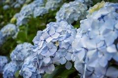 Blåa vanlig hortensiablommor på de Azores öarna royaltyfri bild