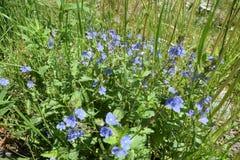 blåa vildblommar royaltyfria bilder