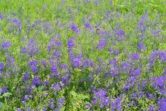 Blåa vildblommor i äng i sommar Arkivbilder