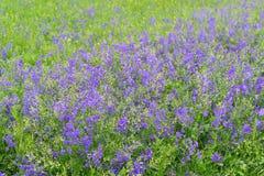 Blåa vildblommor i äng i sommar Arkivfoton