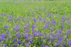 Blåa vildblommor i äng i sommar Fotografering för Bildbyråer