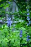 Blåa vildblommor i skog Arkivbild