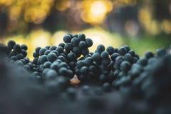 Blåa vinrankadruvor Druvor för framställning av vin Detaljerad sikt av vinrankor för druva för Cabernet francblått royaltyfria foton