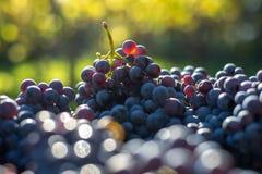 Blåa vinrankadruvor Druvor för framställning av vin Detaljerad sikt av vinrankor för druva för Cabernet francblått arkivfoto