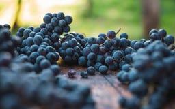 Blåa vinrankadruvor Druvor för framställning av vin Detaljerad sikt av vinrankor för druva för Cabernet francblått royaltyfria bilder