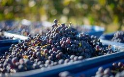 Blåa vinrankadruvor i den skörda tiden Druvor för framställning av vin royaltyfria bilder