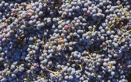 Blåa vinrankadruvor i den skörda tiden Druvor för framställning av vin royaltyfri foto