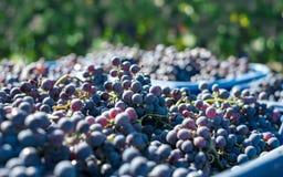 Blåa vinrankadruvor i den skörda tiden Druvor för framställning av vin royaltyfri fotografi