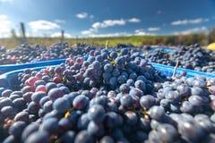 Blåa vinrankadruvor i den skörda tiden Druvor för framställning av vin arkivfoto